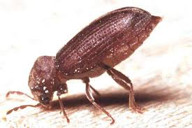 Common Furniture Beetle Woodworm Treatment