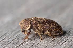 deathwatch beetle woodworm treatment
